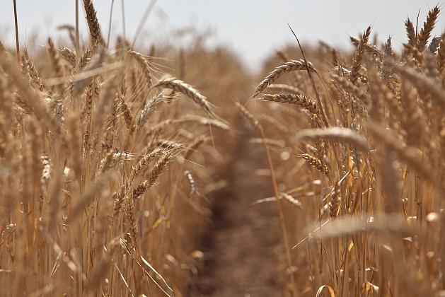 В Волгоградской области собрано более 2,6 миллиона тонн зерна
