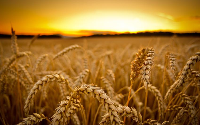 Минсельхоз в сентябре займется закупкой зерна