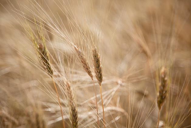 В Волгоградской области собрано более 5,2 миллиона тонн зерна - на 700 тысяч тонн больше урожая 2016 года